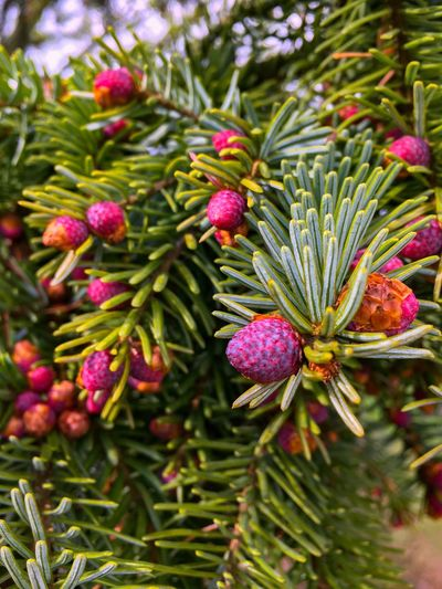 Green Color No People Nature Growth Plant Flower Day Leaf Pine Tree Beauty In Nature Tree Outdoors Needle Close-up Freshness Branch