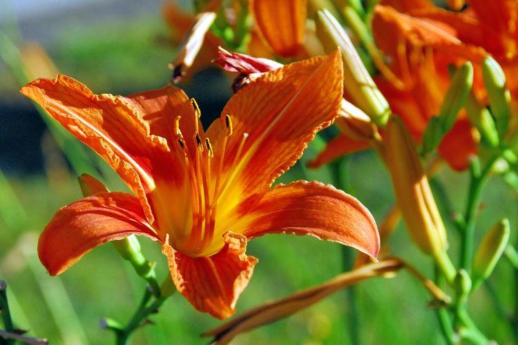 Lilie Blumen