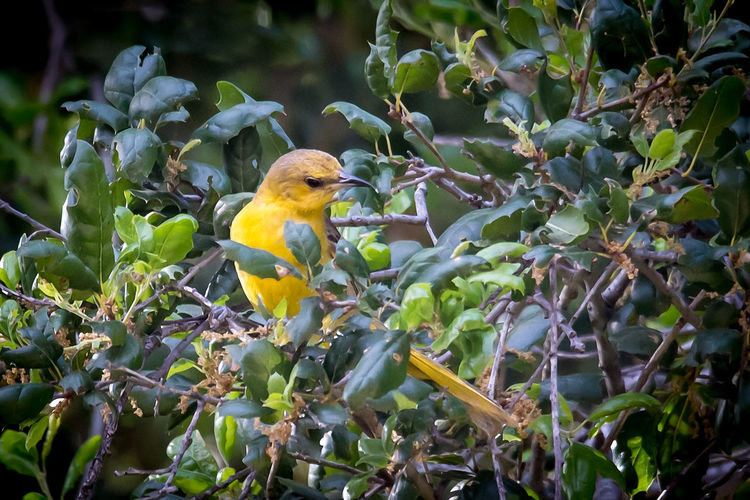 Female Hooded Oriole Perched in a Tree Afternoon Morning Sunny Animal Animal Themes Animal Wildlife Animals In The Wild Beauty In Nature Bird Branch Colorful Day Female Green Color Hooded Oriole Leaf Nature No People One Animal Outdoors Perching Tree Yellow
