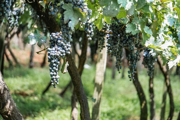Trees growing in vineyard