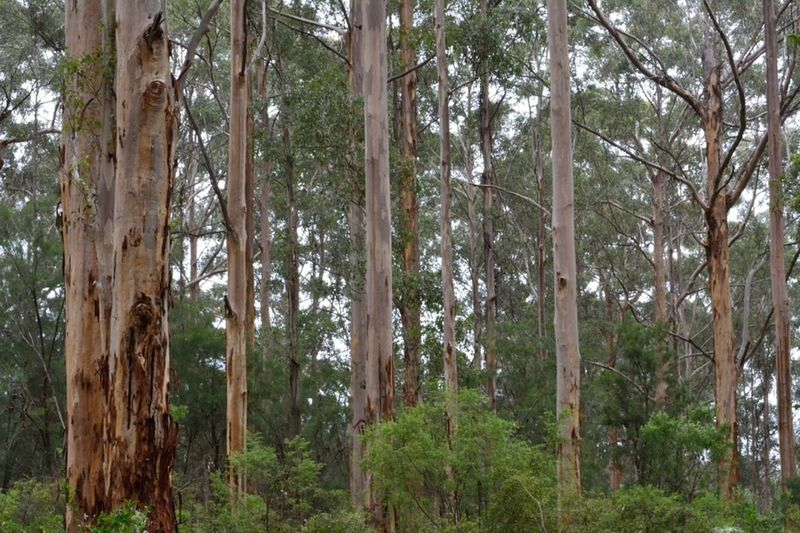 A Bamboo Grove Beauty In Nature Day Forest Green Color Growth Karri Trees Landscape Lush - Description Nature No People Outdoors Pemberton Pinaceae Sky Tranquility Tree Tree Trunk WesternAustralia WoodLand
