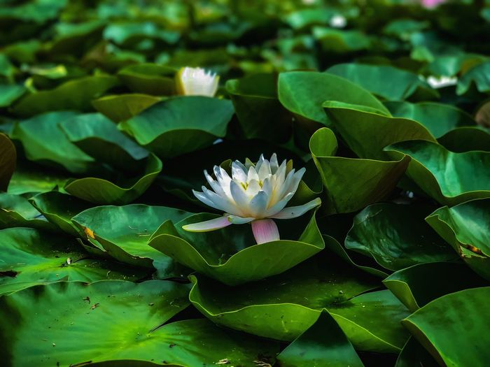 Close-up of lotus water lily in pond