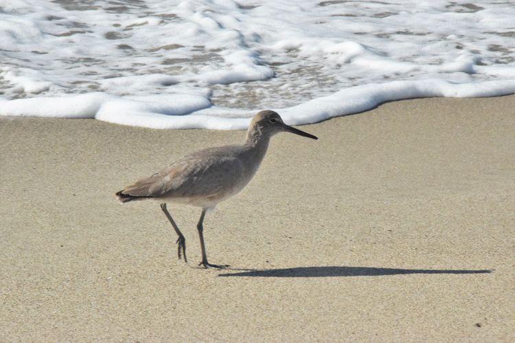Beach Beauty In Nature Birds Outdoors Shore Shorebird Shorebirds Willet Hot Springs