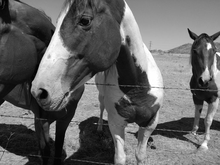 Nature Day No People Domestic Animals Outdoors Mammal Animal Themes Confined Area Horse ManeHorse Liv'n The Dream Agriculture Horse Head EyeEm Selects Horses Close Up Daylight Livestock Close-up Animal Body Part Togetherness Monochrome Black And White Black And White Photography Horse Neck Pet Portraits Black And White Friday