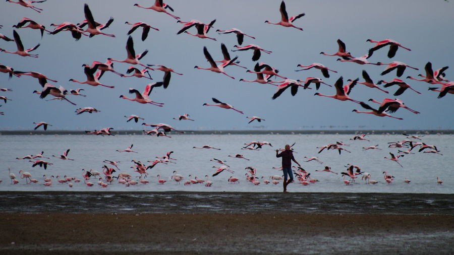 Flamingoes flying at beach against sky during sunset