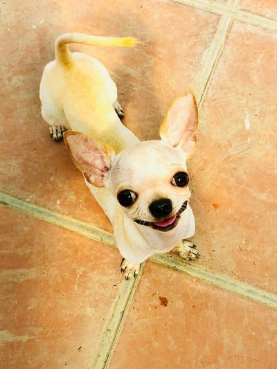 Animal Themes Mammal One Animal Animal Canine Dog Domestic Animals Pets Chihuahua - Dog Nature Small Day