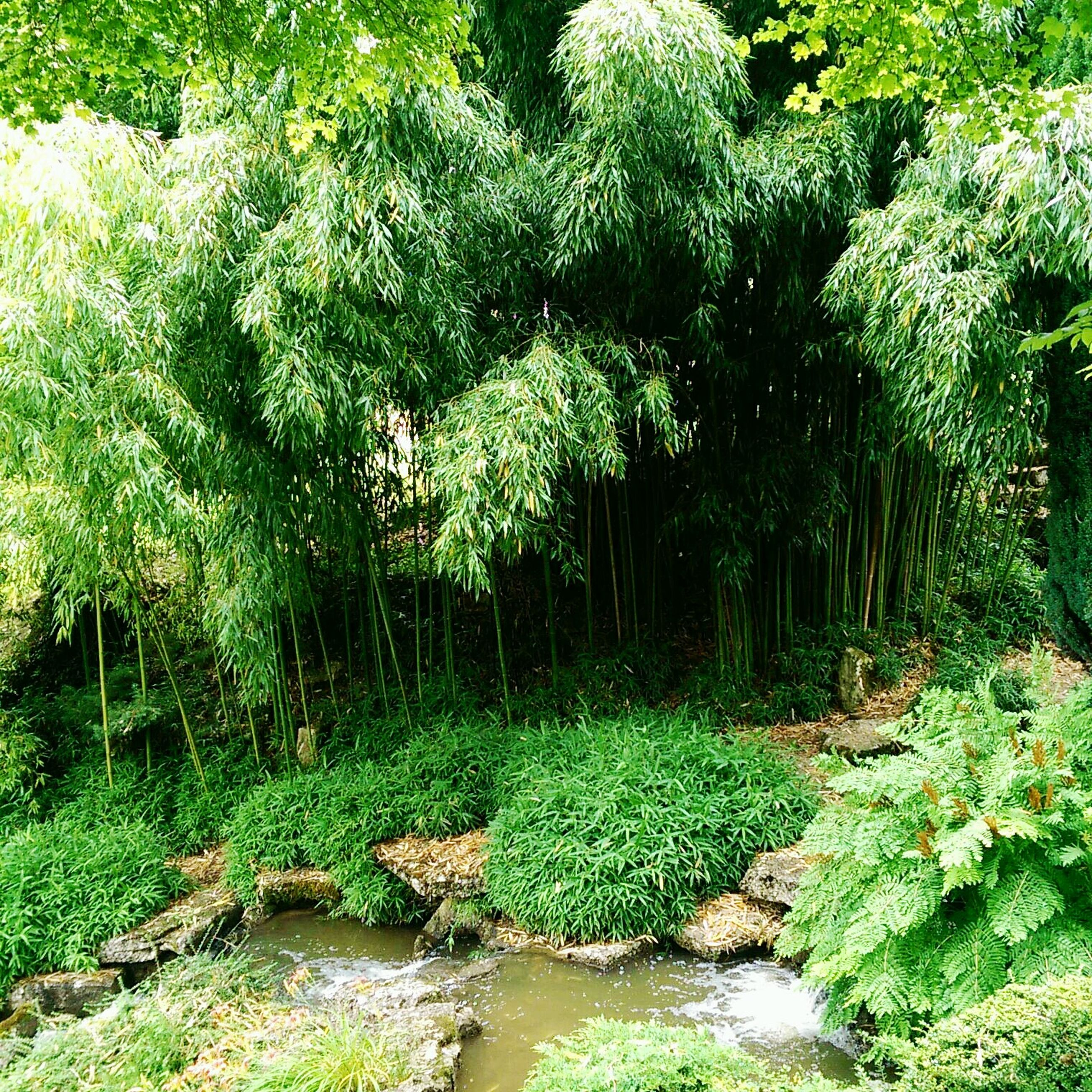 green color, growth, plant, nature, tree, tranquility, beauty in nature, tranquil scene, lush foliage, stream, forest, scenics, green, grass, growing, day, outdoors, no people, sunlight, moss