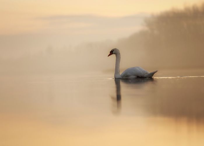 """Evening mood"" Sunset_collection Evening Tiere Natur Vogel Tiere Michael Hruschka Https://www.facebook.com/mh.photography.de/ Mood Schwan  Foggy Fog Nebel Animals In The Wild One Animal Animal Themes Animal Wildlife Nature Bird Lake Swan No People Sunset Outdoors Water Beauty In Nature Swimming"
