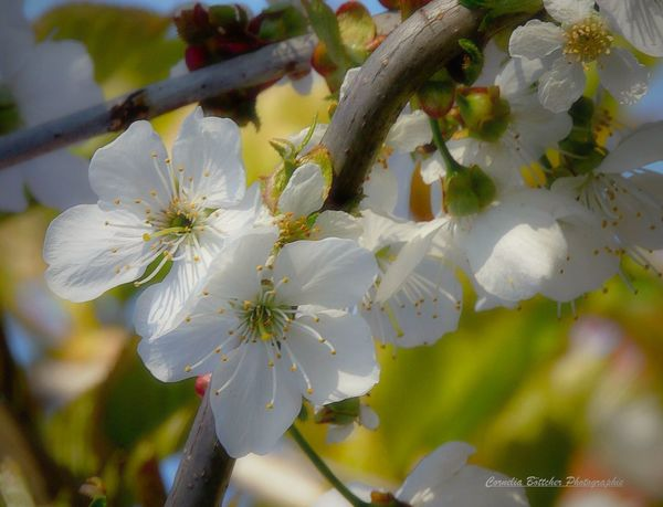 Nature Growth Plant Close-up Blossom Flower Springtime Outdoors Beauty In Nature Branch Tree No People Flower Head Day Willow Tree Picture Fotooftheday Flowerpower Photography Kirschblüten  Kirschbaumblüten Nature Beauty In Nature Fotos Pic
