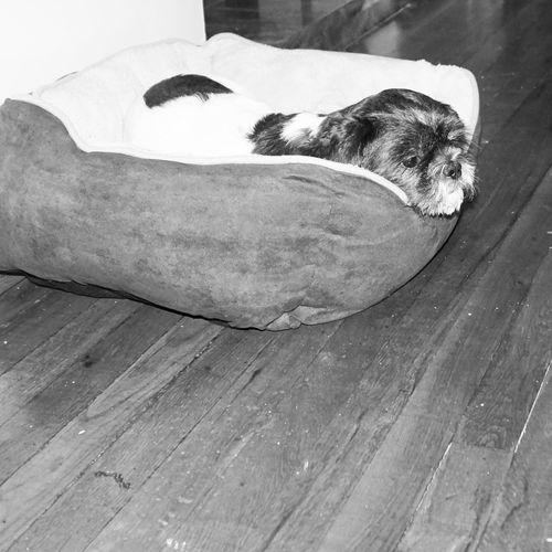 Dog Dogbed Cute Shi Tzu Bestfriend Thinking