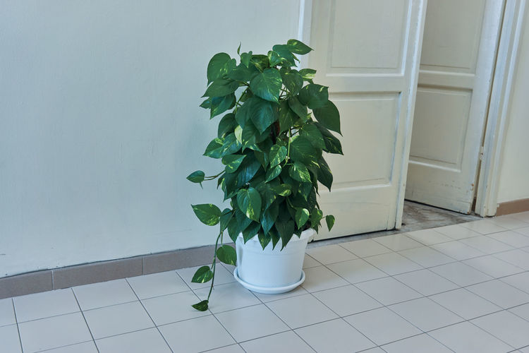 Leaf Plant Part Plant Flooring Nature Indoors  Growth No People Green Color Home Interior Potted Plant Tile Wall - Building Feature White Color Tiled Floor Day Freshness Home Close-up Flower Pot Houseplant