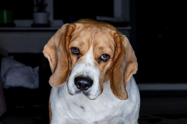 EyeEm EyeEm Best Shots EyeEm Gallery EyeEmNewHere Beaglelife Beaglelovers Beagles  Dog Dog Love