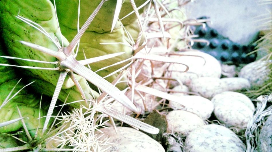 pianta grassa #photography #EyeEm EyeNatureLover EyeNewHere EyeNemBlackandWhite EyeEm Best Shots Eyengallery EyeNewHereEditorPic's Backgrounds Close-up Plant Cactus Saguaro Cactus Prickly Pear Cactus Succulent Plant Pot Growing Blooming Abandoned Barrel Cactus Needle - Plant Part Bad Condition