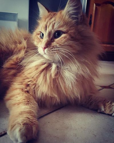 Chat Cat Roux Rouquinestyle Animals