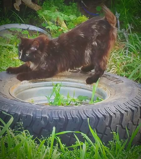 Cats Of EyeEm American Bobtail Cats Bobtail Cats Manix Black &orange Cat Scratching Claws Playful Kitty Animal Lovers Cat Lovers Outdoor Photography FUNNY ANIMALS Manix Cat Tortoise Shell Color Family Manx Manx Cat