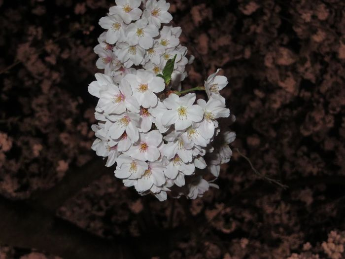 Things I Like Tokyo,Japan Flowers Sakura2016 Nightphotography Pin k White Flower