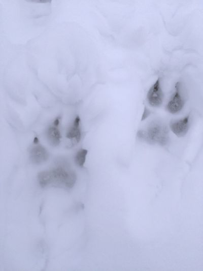Animal tracks eyeem following the big dogs tracks outdoors snow winter cold weather cold temperature tracks tracks in snow publicscrutiny Choice Image