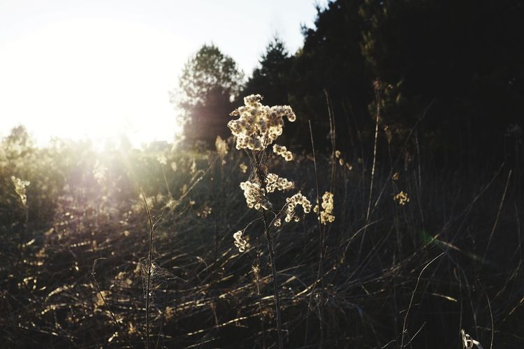 Sunrays Sunset Sunset_collection Sunset Silhouettes Shadows & Lights Shadow Nature Photography Nature_collection Light Tree Rural Scene Close-up Sky Grass Plant Wilted Plant Long Shadow - Shadow Dead Plant Wilted Dried