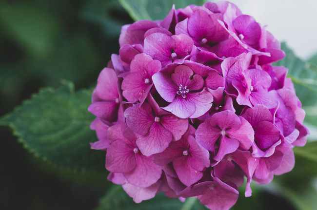 pink floral theme - hydrangea Beauty In Nature Bunch Of Flowers Close-up Day Flower Flower Head Flowering Plant Focus On Foreground Fragility Freshness Growth Hydrangea Inflorescence Lilac Nature No People Outdoors Park - Man Made Space Petal Pink Color Plant Purple Springtime Vulnerability