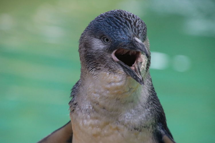 Little (Fairy) penguin Animal Body Part Animal Wildlife Animals In The Wild Beak Bird Close-up Day Focus On Foreground Front View Looking Mouth Open Nature One Animal Outdoors People Portrait Vertebrate