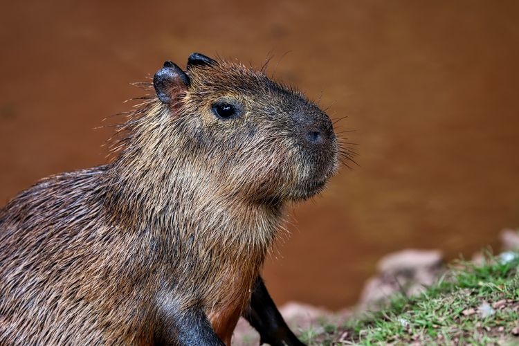 Side view of a capybara looking away