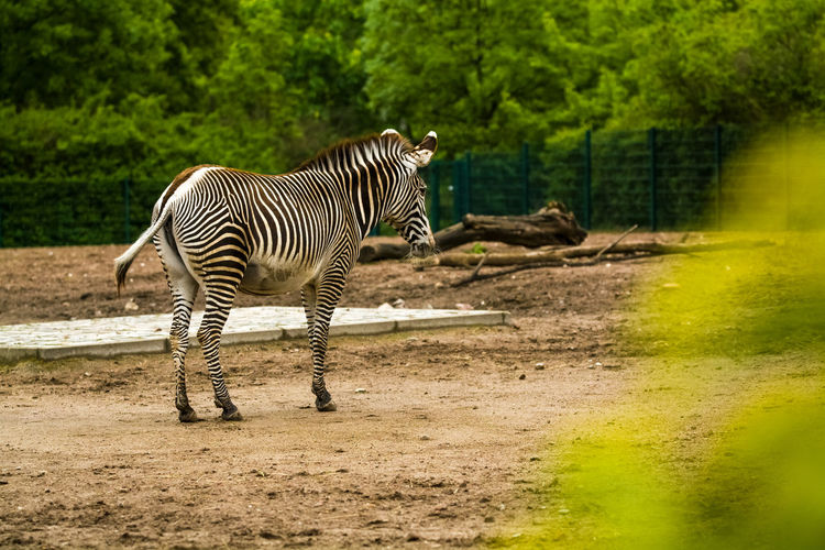 Animal Wildlife Animal Themes Animals In The Wild Animal Mammal Zebra Striped Tree Nature Plant Vertebrate No People Land One Animal Forest Day Full Length Field Herbivorous Outdoors Zoo