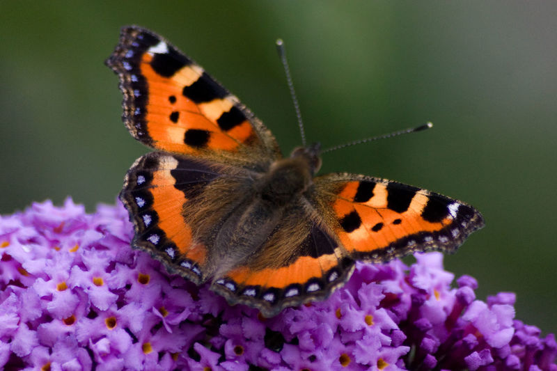 Butterfly sitting on lilac Animals In The Wild Butterfly Butterfly - Insect Close-up Depth Of Field Flower Flower Head Focus On Foreground Fragility Insect Kleiner Fuchs Lilac One Animal Outdoors Perching Small Tortoiseshell