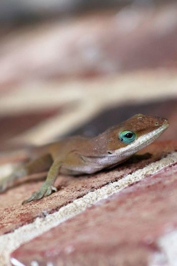 Animal Themes Animal Wildlife Animals In The Wild Blueyes Close-up Day Handsome Lizard Myneighbor Nature No People One Animal Outdoors Reptile Selective Focus