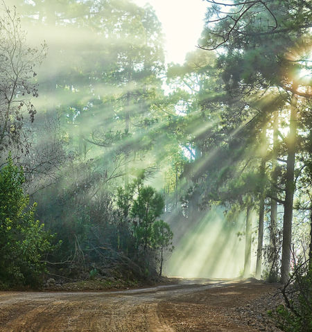Tree Nature No People Sunlight Outdoors Beauty In Nature Growth Scenics Rays Of Light Rays Of Sunshine Rays Of Sun Rays Of Hope Rays Of Light Through The Trees Rays Of The Sun Pines Forest Pines