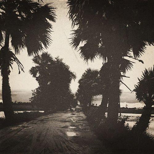 Street Palm Trees Beside offroadingmudinstatripinstatravelinstahubinstamyanmarburmeseigersigersmyanmar2013