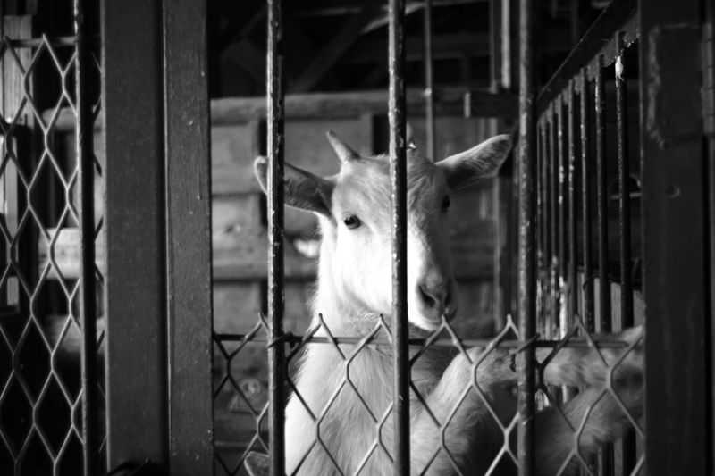 ELMARIT-M 28mm F2.8 Goat Animal Animal Head  Animal Themes Animals In Captivity Barrier Boundary Cage Domestic Domestic Animals Fence Leica Mammal Metal No People One Animal Protection Safety Security Vertebrate