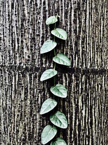 Small Leaf & Big Tree