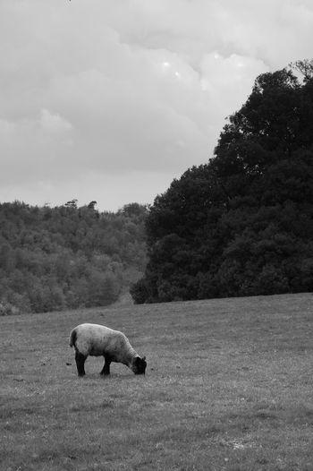 Concentrating On The Food Animal Mammal Sky Cloud - Sky One Animal Tree Field Domestic Animals Nature Vertebrate Livestock Domestic Herbivorous Sheep Lamb Blackandwhite Black And White