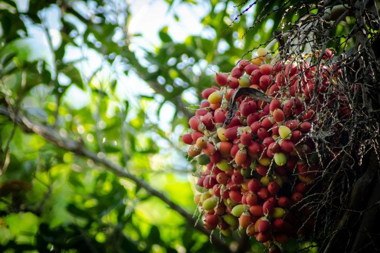 betel nut Food