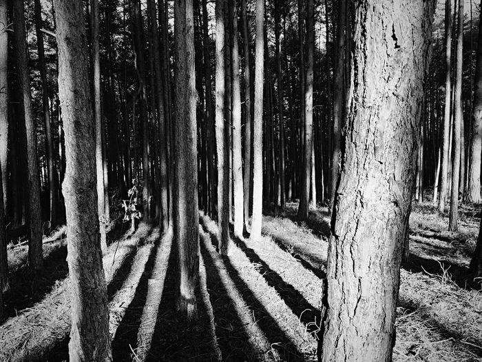 Shadow Forest Minimalism Walking between the Trees in perfect Sunshine in Dezember Blackandwhite Blackandwhite Photography EyeEm Nature Lover Lines Multiple Layers Tree Tree_collection  Tree Love Light And Shadow Landscapes With WhiteWall The Great Outdoors With Adobe Black And White Friday Monochrome Photography Perspectives On Nature