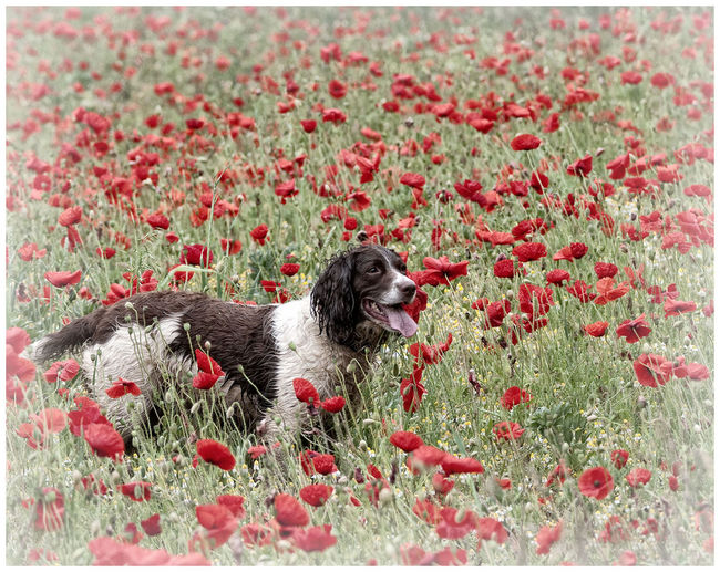 Dog Portrait Dog Walking Dog Walks Poppies Field Springer Spaniel Summertime