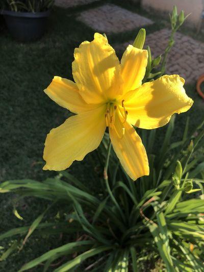 Finally my lily