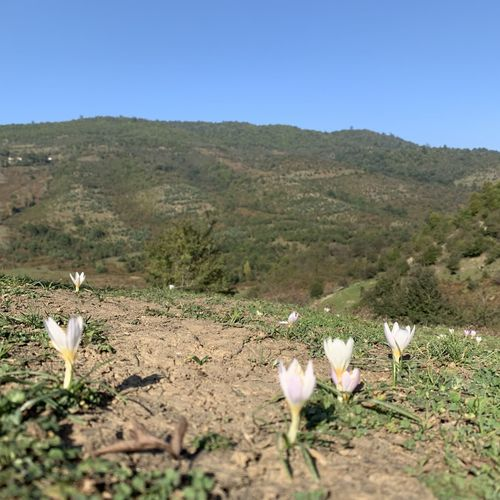 White flowers on field by mountain against clear sky