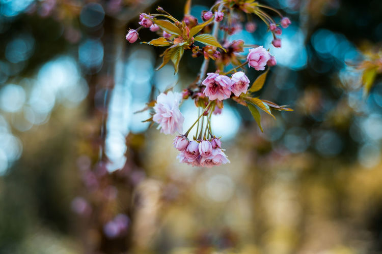 Flower Flowering Plant Plant Beauty In Nature Fragility Vulnerability  Growth Freshness Close-up Petal Focus On Foreground Nature No People Day Pink Color Flower Head Inflorescence Selective Focus Outdoors Tree Cherry Blossom