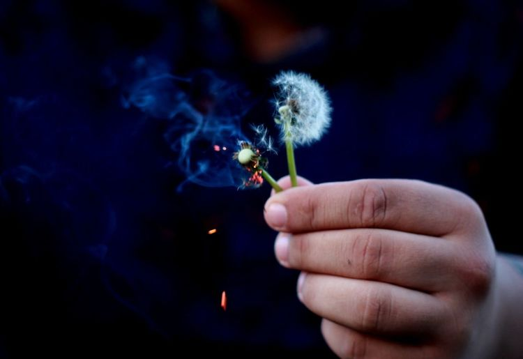 Cropped Hand Holding Burnt Dandelions