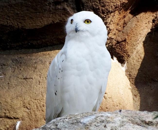Owl Snow Owl Animal Themes One Animal Bird Animal Bird Photography Owl Photography Nature Animal Portrait