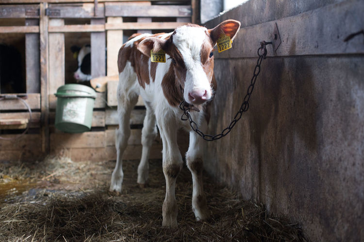 Close-up of cow standing in shed