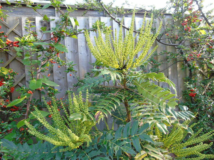Growth Plant Nature Green Color Leaf No People Beauty In Nature Flower Nature On Your Doorstep Nature Mahonia Flowers Outdoors Day