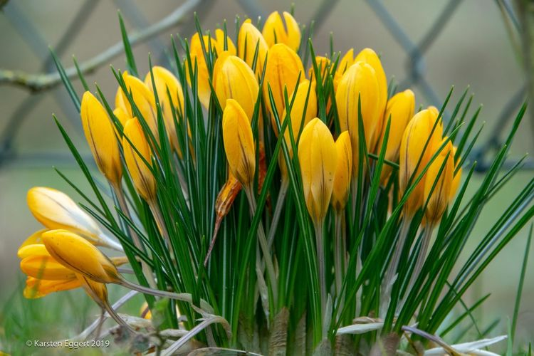 yellow crocuses in spring Flower Flowering Plant Plant Vulnerability  Freshness Fragility Petal Yellow Growth Beauty In Nature Close-up Inflorescence Flower Head Nature Tulip No People Plant Stem Day Selective Focus Springtime Outdoors Crocus