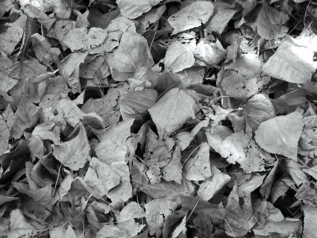 Abundance Autumn Backgrounds Beauty In Nature Black And White Photography Botany Change Close-up Day EyeEm Nature Lover Fallen Fragility Freshness Full Frame Growth Large Group Of Objects Leaf Leaf Vein Leaves Nature No People Outdoors Season  Tranquility