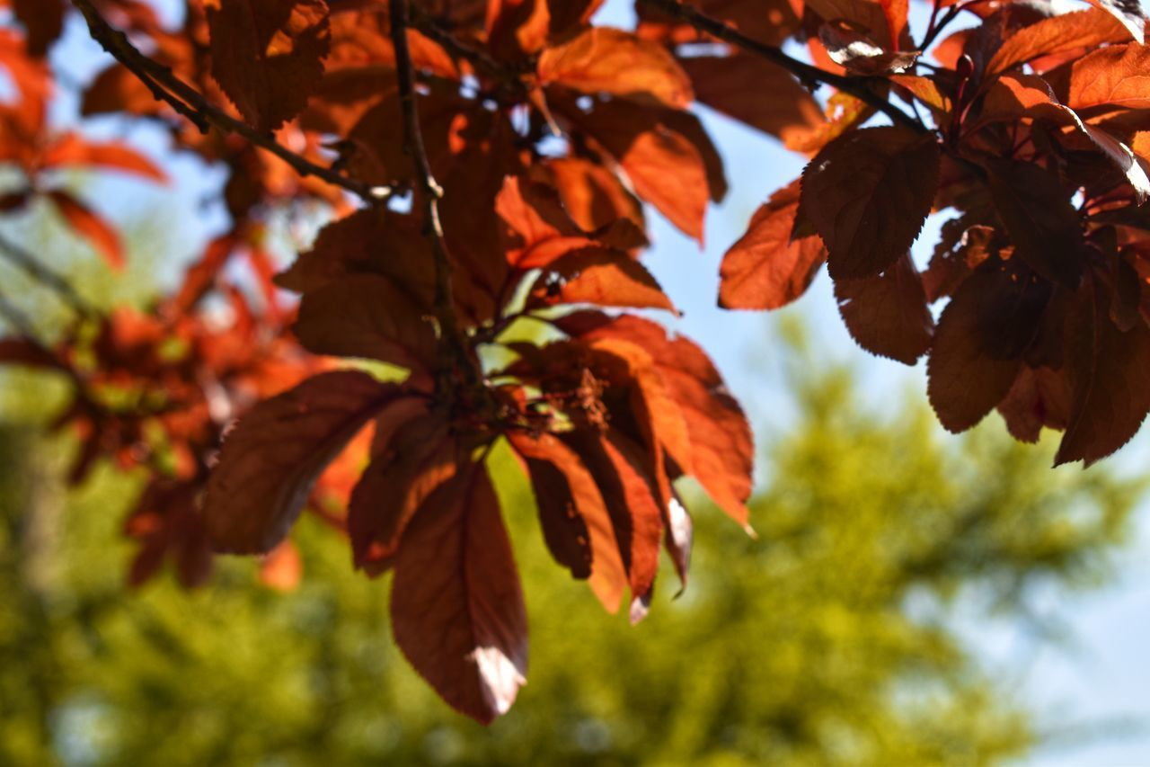 LOW ANGLE VIEW OF ORANGE LEAVES AGAINST SKY