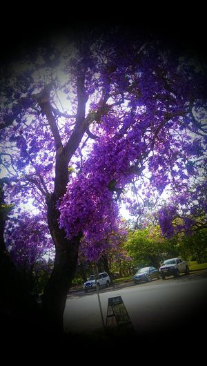 Beautiful Jacaranda trees out side work In A Quiet Moment Flower Porn
