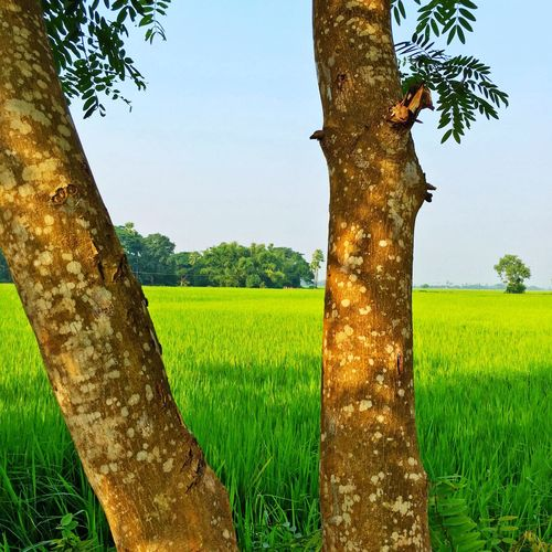 Amazing Nature Tree Nature Tree Trunk Green Color Beauty In Nature Field Tranquility Landscape Tranquil Scene Rural Scene Outdoors Scenics Day Sky Paddy Field IPhoneography IPhone Iphonephotography Iphone6splus