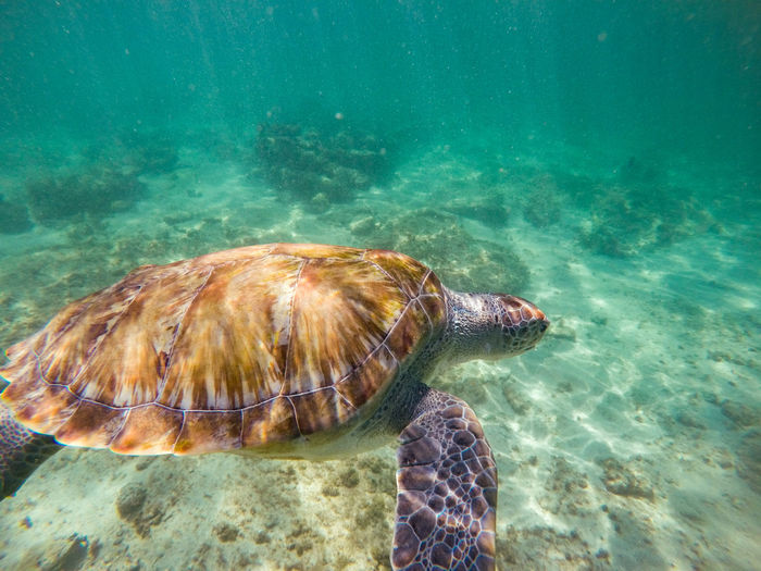 Water Sea Animals In The Wild Animal Wildlife Animal Themes Turtle Animal Sea Life Underwater Marine Swimming One Animal Reptile Nature Sea Turtle Animal Shell UnderSea Shell Vertebrate No People Outdoors Tortoise Shell Turquoise Colored