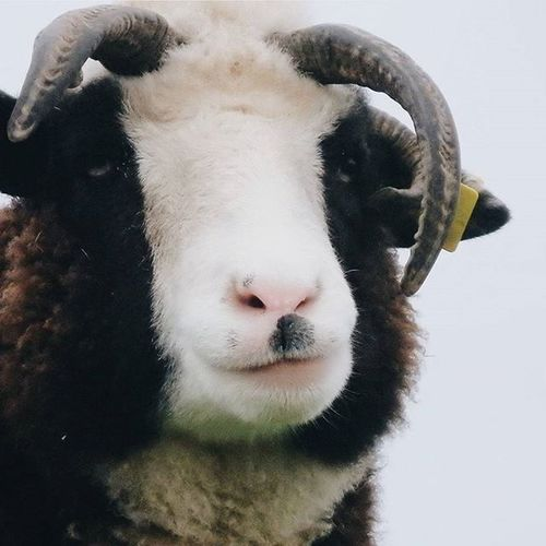 Schelm Schaf. Sheep Wool Hello Look Lookmeintheeyes Horns Animal Kuschel Mäh Portrait Diewocheaufinstagram Instamood Vscocam VSCO Countryside Nature